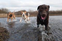 Chien d'arrêt et amis de Labrador Photos stock
