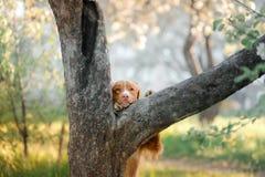Chien d'arrêt et arbre de tintement de canard de Nova Scotia de chien Photographie stock libre de droits