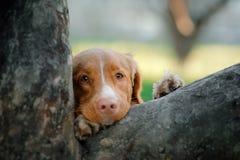 Chien d'arrêt et arbre de tintement de canard de Nova Scotia de chien Image stock