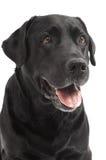 Chien d'arrêt noir Labrador de plan rapproché Photo libre de droits