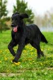 Chien d'arrêt plat-enduit de chien noir fonctionnant autour de et jouant en Th Images libres de droits