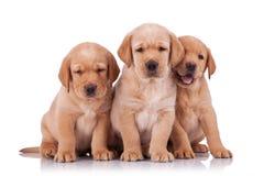 Chien d'arrêt adorable de trois petit Labrador Image stock