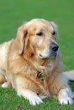 chien d'arrêt d'or Photographie stock libre de droits