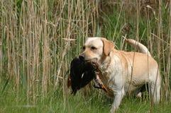 Chien d'arrêt de Labrador de chasse Photo stock