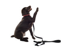 chien d'arrêt de Labrador de chocolat Photos stock