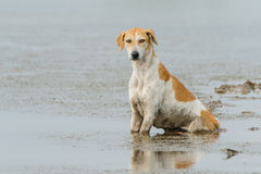 chien d'Inde photo stock