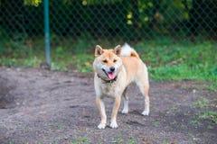 chien d'inu de shiba en parc de chien Photo stock