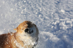 Chien d'inu de Shiba jouant dans la neige Photo stock