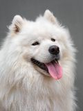 Chien d'ofl de portrait - Samoyed Photos stock