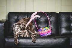 Chien d'oreilles de lapin Photographie stock