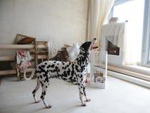 Chien dalmatien à l'intérieur de l'atelier artistique Image libre de droits