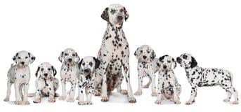 Chien dalmatien adulte avec des chiots photographie stock libre de droits