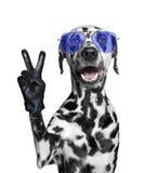 Chien dalmatien avec des doigts de victoire D'isolement sur le blanc Images libres de droits