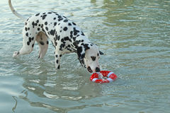Chien dalmatien avec le jouet de l'eau en été Photographie stock