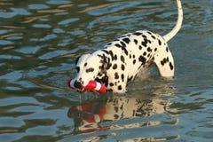 Chien dalmatien avec le jouet de l'eau en été Photographie stock libre de droits