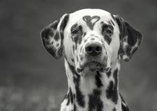 Chien dalmatien avec une tache sous forme de coeur sur la tête Image noire et blanche Photo libre de droits