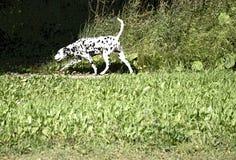Chien dalmatien courant l'objet noir images libres de droits