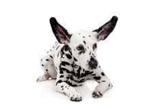 Chien dalmatien, d'isolement sur le blanc Photo stock