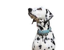Chien dalmatien d'isolement sur le fond blanc images libres de droits