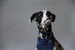Chien dalmatien dans le foulard de jeans Portrait sur un fond clair avec l'espace libre pour le texte ou la conception Photographie stock libre de droits
