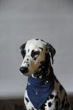 Chien dalmatien dans le foulard de jeans Portrait sur un fond clair avec l'espace libre pour le texte ou la conception Photos stock