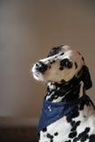 Chien dalmatien dans le foulard de jeans Portrait sur un fond clair avec l'espace libre pour le texte ou la conception Image libre de droits