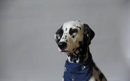 Chien dalmatien dans le foulard de jeans Portrait sur un fond clair avec l'espace libre pour le texte ou la conception Photos libres de droits