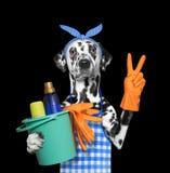 Chien dalmatien dans le tablier faisant des travaux du ménage D'isolement sur le noir Images stock