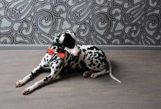 Chien dalmatien dans un noeud papillon rouge dans l'intérieur élégant de gris-acier Papiers peints avec des monogrammes Photographie stock libre de droits