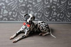 Chien dalmatien dans un noeud papillon rouge dans l'intérieur élégant de gris-acier Papiers peints avec des monogrammes Photos libres de droits