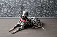 Chien dalmatien dans un noeud papillon rouge dans l'intérieur élégant de gris-acier Papiers peints avec des monogrammes Images stock