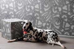 Chien dalmatien dans un noeud papillon rouge dans l'intérieur élégant de gris-acier Papiers peints avec des monogrammes Photographie stock