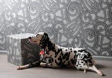 Chien dalmatien dans un noeud papillon rouge dans l'intérieur élégant de gris-acier Papiers peints avec des monogrammes Photo libre de droits