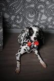 Chien dalmatien dans un noeud papillon rouge dans l'intérieur élégant de gris-acier Papiers peints avec des monogrammes Images libres de droits