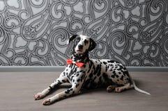 Chien dalmatien dans un noeud papillon rouge dans l'intérieur élégant de gris-acier Papiers peints avec des monogrammes Photo stock