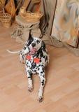 Chien dalmatien dans un noeud papillon rouge dans un intérieur rustique d'eco Photo stock