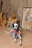 Chien dalmatien dans un noeud papillon rouge dans un intérieur rustique d'eco Images stock