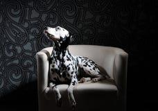 Chien dalmatien dans un noeud papillon rouge sur une chaise blanche dans un intérieur acier-gris Éclairage dur de studio Vertical Photographie stock