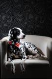 Chien dalmatien dans un noeud papillon rouge sur une chaise blanche dans un intérieur acier-gris Éclairage dur de studio Vertical Photographie stock libre de droits