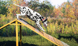 Chien dalmatien en nature Photo stock
