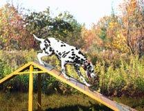 Chien dalmatien en nature Photographie stock