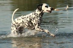 Chien dalmatien fonctionnant dans un lac Images libres de droits