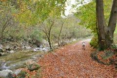 Chien dalmatien fonctionnant loin le long du chemin automnal de montagne et du courant d'eau pure de montagne photos stock