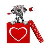Chien dalmatien mignon avec la flèche se reposant dans la boîte de valentines D'isolement sur le blanc Photo stock