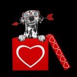 Chien dalmatien mignon avec la flèche se reposant dans la boîte de valentines D'isolement sur le noir Photos stock