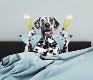 Chien dalmatien s'étendant dans le lit avec le champagne photo stock