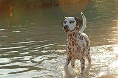 Chien dalmatien se tenant dans un lac en été Photographie stock libre de droits