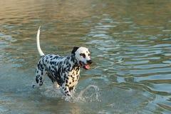 Chien dalmatien se tenant dans un lac en été Image libre de droits