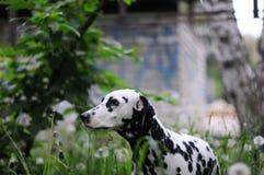 Chien dalmatien sur un fond de nature verte Images libres de droits