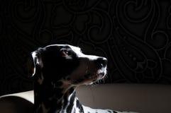 Chien dalmatien sur une chaise blanche dans un intérieur acier-gris Éclairage dur de studio Fin artistique de portrait  Photographie stock libre de droits